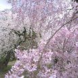 桜の園-京都府立植物園の桜-2