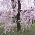 桜の園-京都府立植物園の桜1
