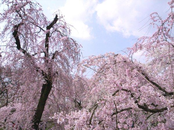 桜の園-京都府立植物園の桜5