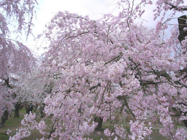 桜の園-京都府立植物園の桜4