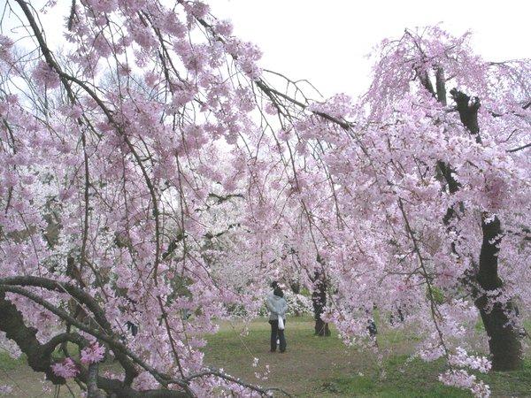 桜の園-京都府立植物園の桜3