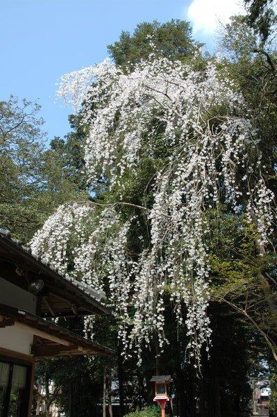 鷺森神社の枝垂れ桜1